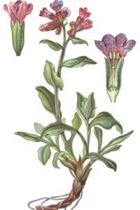 Медуница лекарственная  -  Pulmonaria officinalis L.