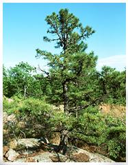 Терпентиновое дерево