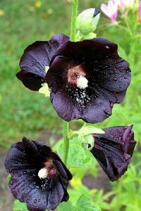 Штокроза черная