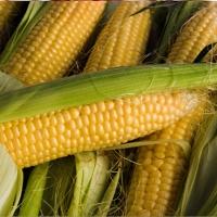 целебные свойства кукурузы